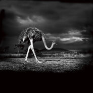 The watchful ostrich